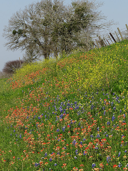 2014 03 20 TX Flowers Wildflower hillside along FM1155