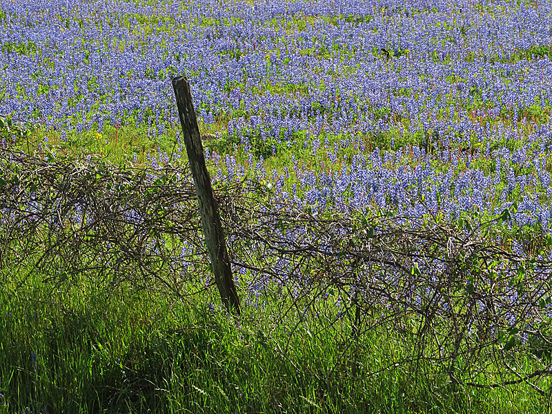 2014 03 31 Flowers Sandyland bluebonnets and a vine covered fence