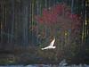 TX 2012 The Woodlands bird in flight along north shore