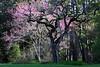 TX 2003 Magnolia red bud tree