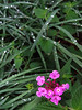 2013 04 27 Flowers 59W Front yard purple lantana in wet grass