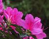 2014 03 30 Flowers TX 59W Azalea slope