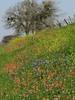 2014 03 20 TX Flowers Wildflower hillside along FM1155