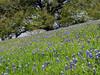 2014 03 20 TX Flowers Bluebonnets and love oak along FM2447