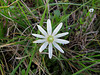 2014 03 20 TX Flowers ten-petal Anemone along Zibilski Road