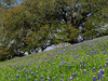 2014 03 20 TX Flowers Live oak and bluebonnet hill along FM2447 in Chappell Hill